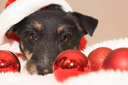 closeup of a small cute Jack Russell Terrier Christmas dog Standard-Bild