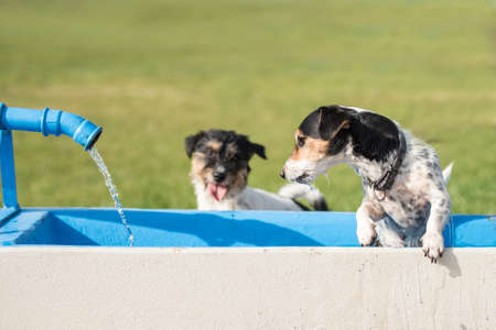 Two cute small thirsty Jack Russell Terrier dogs drinking cold water from a well on a hot summer day