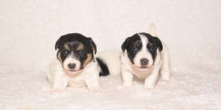 Pups 3.5 weeks old. Group of purebred small Jack Russell Terrier baby dogs Standard-Bild