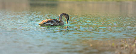 Young swan swims alone in the clear water of a gravel pit Standard-Bild