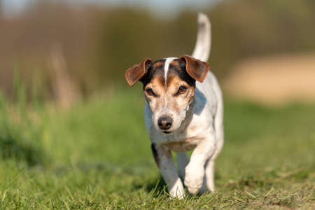 Portrait of a cute 12 years old Jack Russell Terrier dog outdoor in nature. Standard-Bild