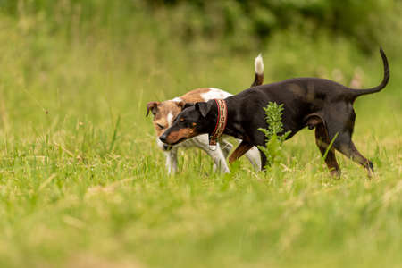 two beauty animal friends on a green beautiful meadow in spring. Paron Russell Terrier dog and Manchester Terrier doggy in great harmony of green background