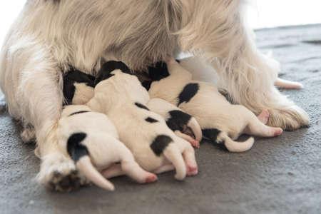 A litter of little dog breed. Newborn dogs puppies - 2 days old - Jack Russell Terrier doggies drinking milk on her mother Standard-Bild