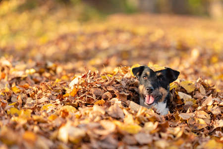 Little small Jack Russell Terrier dog has a lot of fun in autumn leaves and is playing alone with leaves