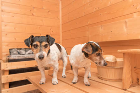 A group of cute little Jack Russell Terrier dogs in the wooden spruce sauna Standard-Bild