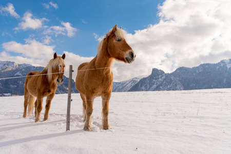 Haflinger horses on the winter meadow and mountain peaks on background. Standard-Bild
