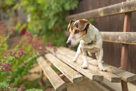 Cute 13 years old Jack Russell Terries dog is standing on a park bench Standard-Bild