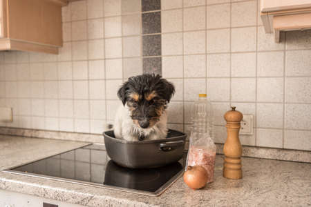 Little Cheeky cute Jack Russell terrier dog sits in a frying pan.