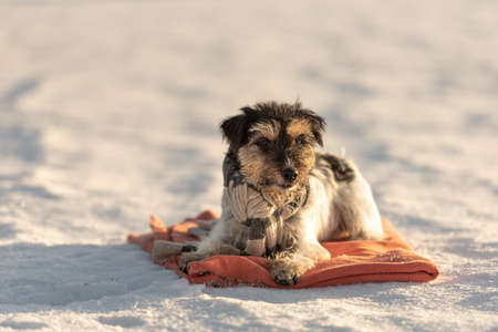 Little cute handsome Jack Russell Terrier dog with a scarf around his neck out in nature lies on a red blanket in the winter season. Standard-Bild