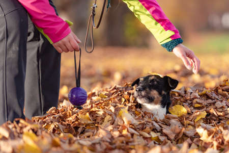 Dog owner plays with his little Jack Russell Terrier in a foliage heap in autumn. They have a lot of fun together