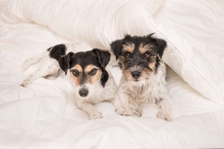 Two little Jack Russell Terrier dog on a bed