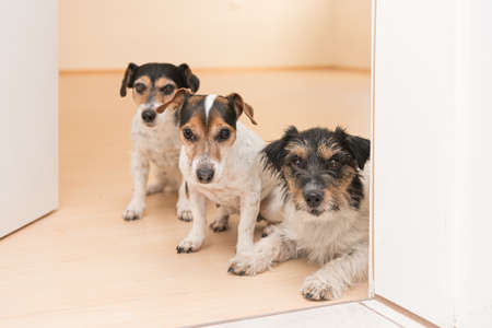 a group of three cute small cheeky Jack Russell Terriers lying side by side at an open door in the apartment at home