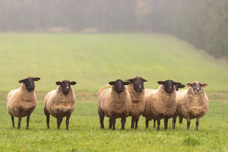 A group of sheep on the open field