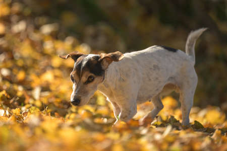 cute small senior Jack Russell Terrier. 14 years old