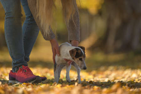 Little senior Jack Russell Terrier in autumn with his human friend.