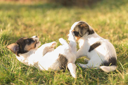 Puppies 6 weeks old playing together in an green meadow. Breed - very small Jack Russell Terrier baby dogs 免版税图像