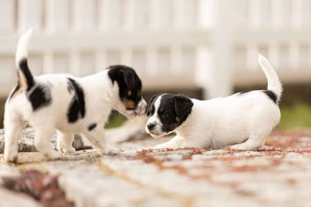Puppy 6 weeks old playing together. Group of purebred small Jack Russell Terrier baby dogs 免版税图像