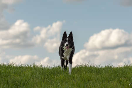 beautiful Border Collie on a green meadow outside in the nature in front of blue sky background