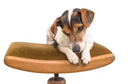 little cute Jack Russell dog is lying obediently on a chair. Background is white isolated