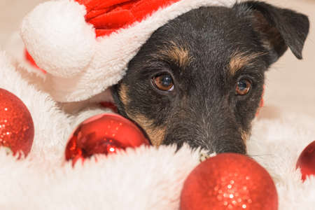 closeup of a small cute Jack Russell Terrier Christmas dog 免版税图像