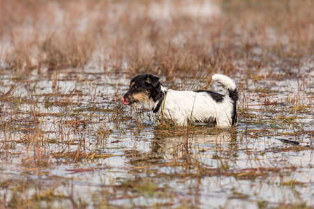 Cute small Jack Russell Terrier dog stands in a water with a lot of reed