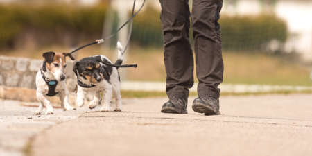 Dog handler walks with her little dogs on a road. Two cute obedient Jack Russell Terrier doggy