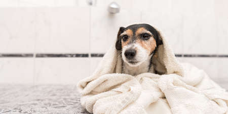 Cute small Jack Russell terrier. Dog wrapped in a bath towel after bathing and looking forward to the camera.