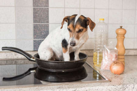 Little Cheeky cute Jack Russell terrier dog sits in a frying pan. A hot dog so to speak.