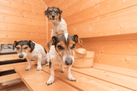 A group of cute little Jack Russell Terrier dogs in the wooden spruce sauna 免版税图像