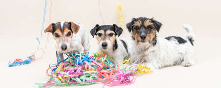 Three cute party dog. Jack Russell dogs ready for carnival
