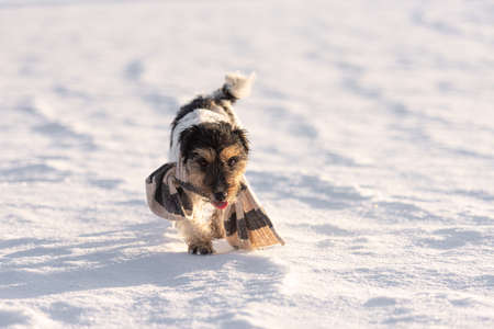 Little cute handsome Jack Russell Terrier dog with a scarf around his neck out in nature during the winter season.