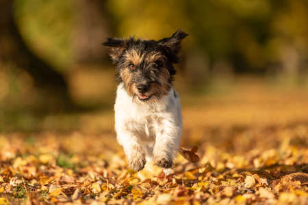 Purebred Jack Russell Terrier. Little cute dog is running in the woods on a path in the autumn leaves 免版税图像