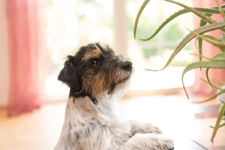Cut Dog sitting in an apartment and looking at an aloe vera plant. Purebred Jack Russell Terrier 3 years old