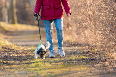 In autumn a woman is walking in the forest with a disobedient young small tricolor Jack Russell Terrier dog 免版税图像