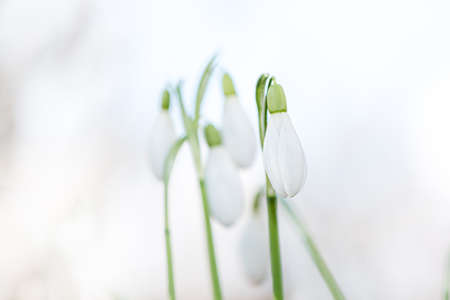 snowdrops in spring photographed in fine art. 免版税图像