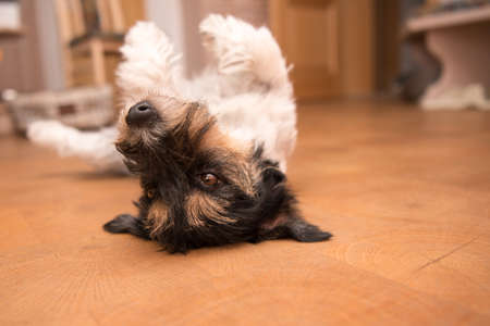 Dog laying upside down on back. Naughty Jack Russell Terrier hound