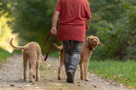 Young and old Magyar Vizsla hound. female dog handler is walking with her two odedient dog on the road in a forest