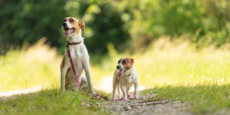 Two cute enchanting dogs are walking together without humans. Little Jack Russell Terrier doggy and a big mongrel hound