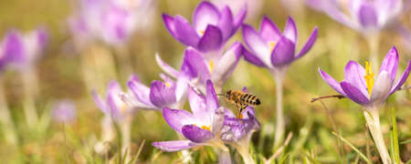 A group of purple crocuses flowers is blooming in spring and a bee