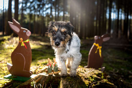 Small crazy easter dog sits outdoor in natur in the forest with wooden Easter bunnies. Cool rough-haired Jack Russell Terrier hound