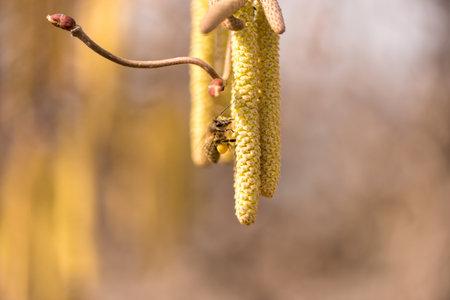 Corylus avellana - bee collecting honey on a hazelnut shrub in spring Standard-Bild - 162536679