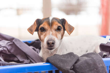 Beatuy dog lies in a laundry basket with freshly washed folded and ironed laundry indoor. Jack Russell Terrier 10 years old. Hair type smooth Standard-Bild - 162536798