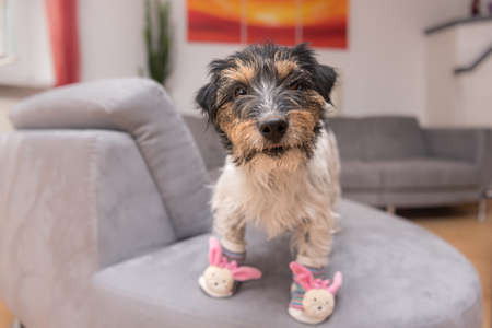 Little crazy easter dog at home with bunny shoes. Cool rough-haired Jack Russell Terrier hound