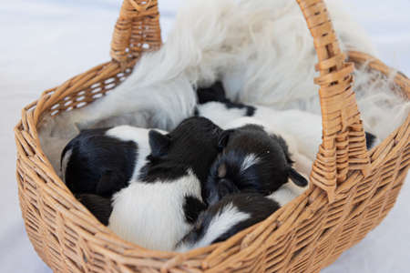 Jack Russell Terrier puppy dogs 12 days old. a litter of young whelp lie in a basket and sleeping Standard-Bild - 165955737