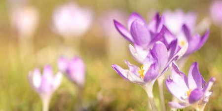 purple crocuses flowers in spring photographed in fine art Standard-Bild - 166616309