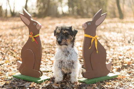 Small crazy easter dog sits outdoor in natur in the forest with wooden Easter bunnies. Cool rough-haired Jack Russell Terrier hound Standard-Bild - 166616339