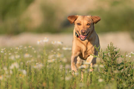 Labrador Redriver dog. Cute dog is running over a blooming beautiful colorful meadow Standard-Bild - 166749908