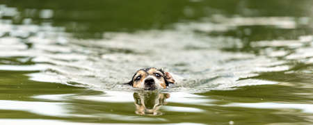 cute small Jack Russell Terrier dog swims in a beauty lake