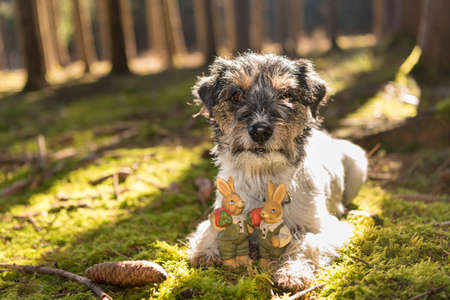 Small crazy easter dog is lying outdoor in natur in the forest with tiny Easter bunnies. Cool rough-haired Jack Russell Terrier hound