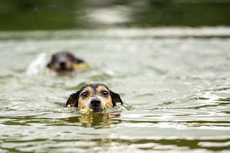 Two cute small Jack Russell Terrier dog friends are swims in water and retrieves a flower im mouth Standard-Bild - 166749958